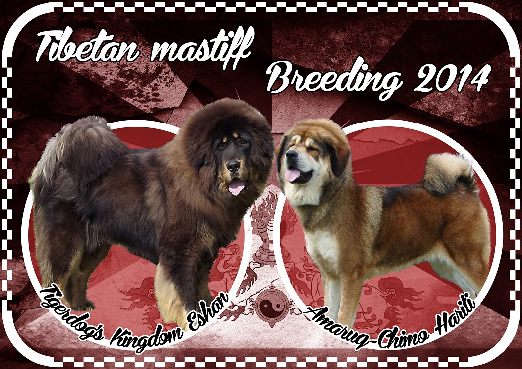 The breeding of Eshan and Hariti Tibetan Maztiff dogs by Sadaksari Kennel