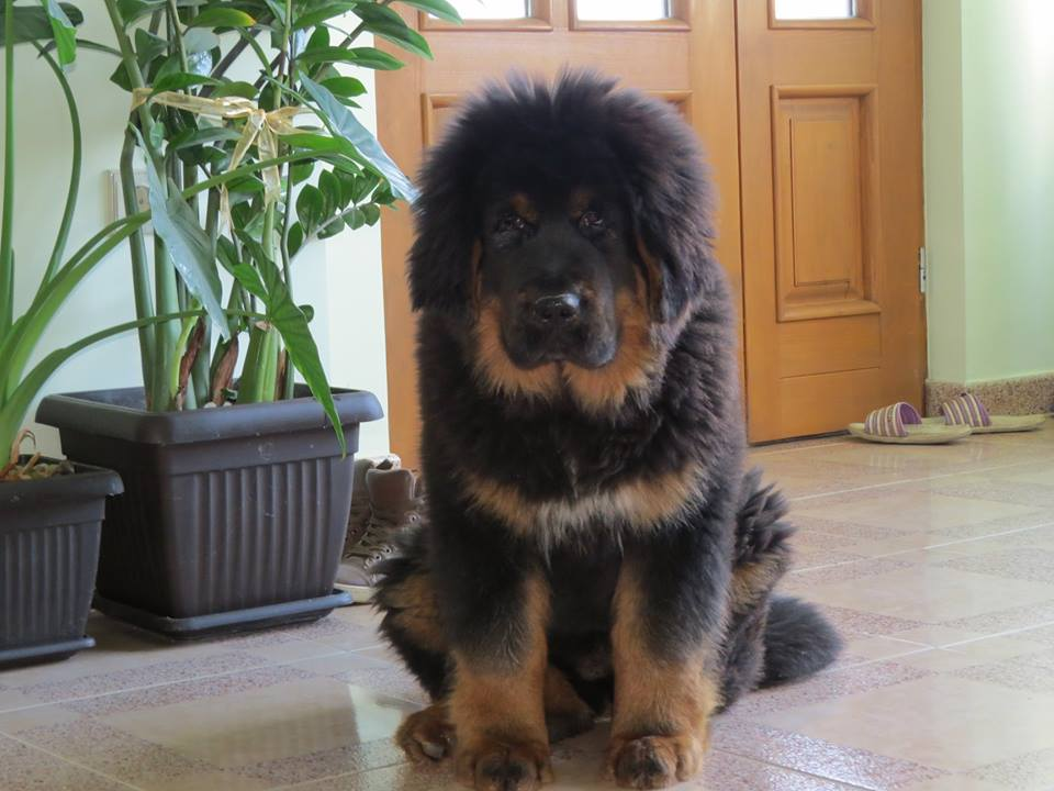 The Sadaksari Kennel was enlarged with a new Tibetan Mastiff puppy!