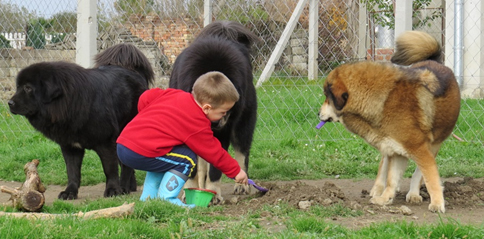 My son, as he plays with our Tibetan Mastiff dogs.