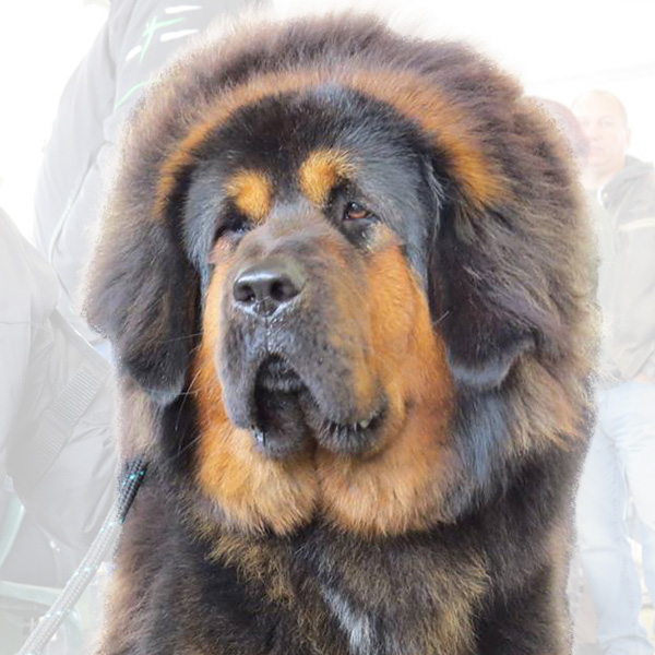 Chunhua Drokpa a.k.a. Gin-Gin Tibetan Mastiff from the Sadaksari Kennel