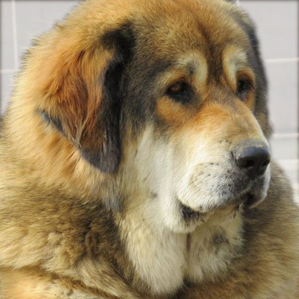 Amaruq-Chimo Hariti Tibetan Mastiff, from the Sadaksari Kennel
