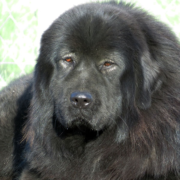 Amaruq-Chimo Gou-Xiang, a.k.a. Sheena Tibetan Mastiff from the Sadaksari Kennel